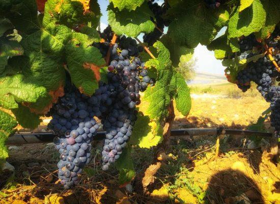 Vigna del Baglio Nero d'avola-IMG-20180917-WA0003